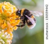 A Macro Shot Of A Bumblebee...