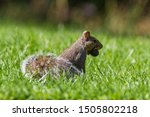 Eastern Gray Squirrel  Sciurus...