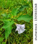 Purple Datura Flower With Wate...