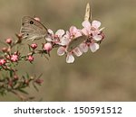 Small photo of Australian Dingy Ring or Dusky Knight Ypthima arctous butterfly on native wildflower leptospernum pink cascade flowers