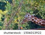 giraffe  closeup photo of...   Shutterstock . vector #1506013922