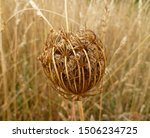 Seed Head Of Queen Anne's Lace...