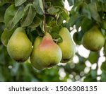 A Bunch Of Pears In The Tree