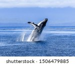 Humpback Whale In The Blue...