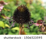 Flower Seeds Of Echinacea...