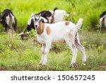 healthy goat in farm from... | Shutterstock . vector #150657245