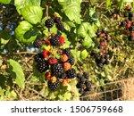 Blackberries Growing In An...