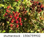 Blackberries Growing In An...