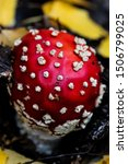 fly agaric mushroom also known... | Shutterstock . vector #1506799025