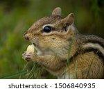 A Chipmunk Nibbling A Peanut