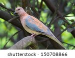 A Laughing Palm Dove Perched O...