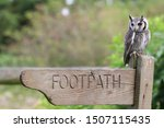 Southern White Faced Owl...