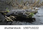American Alligator Resting On ...