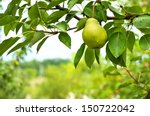 Pear Fruit On The Tree In The...