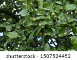 Small photo of Green fruits of officinal styrax