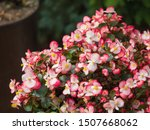 Macro Of An Ice Begonia In A...