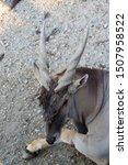 closeup of common eland  also...   Shutterstock . vector #1507958522