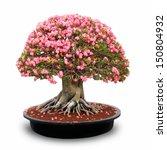 Desert Rose Flower Bonsai In...