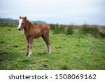 Red Foal In The Meadow.
