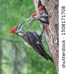 Pileated Woodpecker Parent Set...