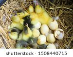 Small photo of The ducks hatch, many yellow-born new ducklings are in the nest,Newly hatched ducklings