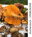 Jack O Lantern Mushroom Eight...