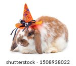 Stock photo cute holland lop white and brown rabbit wear a halloween hat isolated on white background lovely 1508938022