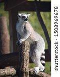 A Cute Ring Tailed Lemur...
