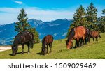 Beautiful grazing horses at Annaberg, Lammertal, Salzburg, Austria