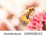 Honey Bee On A Pink Flower...
