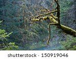 rain forest in british columbia ... | Shutterstock . vector #150919046