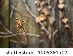 Big Fat Spider Hang On Cobwebs...