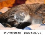 Stock photo mother cat grooming her newborn kitten 1509520778