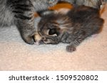 Stock photo grey tabby kitten lying on baby blanket 1509520802