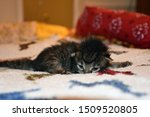 Stock photo tiny kitten black tabby lying on bed 1509520805