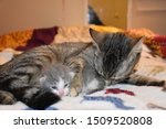 Stock photo mother cat grooming her newborn kitten 1509520808