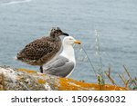 Baby Seagull And Adult On The...