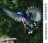 Small photo of Taiwan Blue Magpie (Urocissa caerulea) is the symbolic endemic bird of Taiwan. Social, intelligent, loud, and gregarious, the colorful bird has been voted the National Bird of Taiwan since 2007.