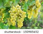 brunch of white grape in a...   Shutterstock . vector #150985652