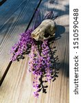 Small photo of Scull of a large squirrel and liriope grass purple flowers. Nice Halloween colors...