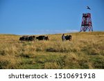 Small photo of Homecoming cows at a saunter along the look-out tower