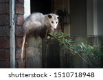 Adult Female Virginia Opossum ...