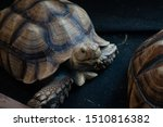 Stock photo close up front view of sulcata tortoise africa spurred tortoise turtle 1510816382