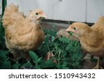 Small photo of Free range Buff Orpington pullet eating a tridax daisy leaf in a suburban back yard.