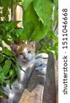 Stock photo cute baby kitten sitting in a tree pot cute kitten brown white hairs color indonesian domestic 1511046668