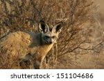 Bat Eared Fox Staring