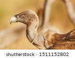 European Griffon Vulture In...