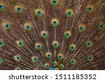 Plumage Of The Indian Peafowl ...