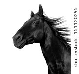 Stock photo beautiful black stallion running in a corral isolated on a white background 151120295