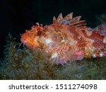A Red Scorpionfish  Scorpaena...